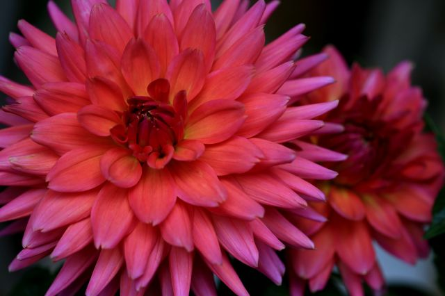 Dahlias : Fire Magic