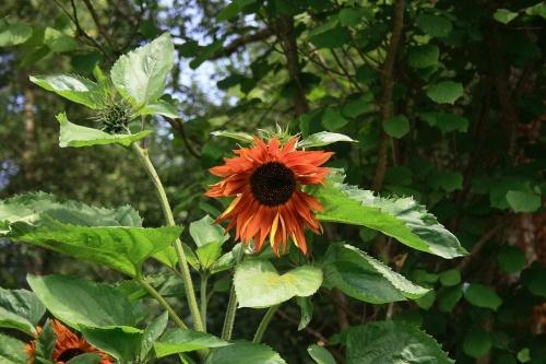 Tournesol orange soleil