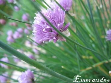 Photo Fleurs, ciboulette - 01.06.11