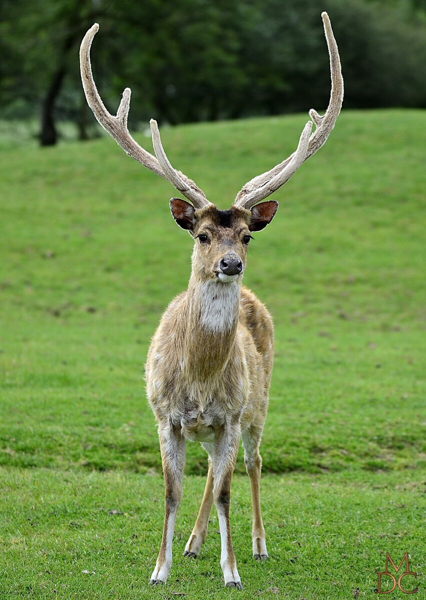 Cerf axis (Axis axis) ou Chital