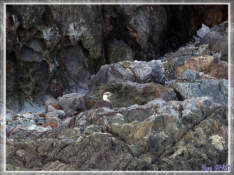 Pygargue de Madagascar, Ankoay, Madagascan Fish Eagle (Haliaeetus vociferoides) : nous repérons un second oiseau, un juvénile ? - Nosy Tsarabanjina - Archipel Mitsio - Madagascar