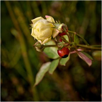 Rose de janvier