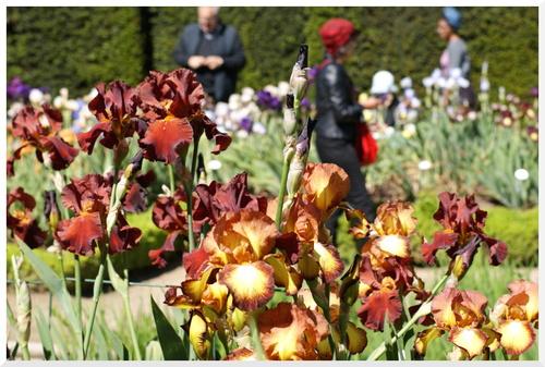 Le jardin des Iris à Bagatelle. Paris