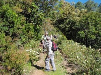 Une abondante floraison de cystes à feuille de sauge, et de Montpellier