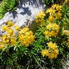 Saxifrage faux Orpin (Saxifraga aizoides)