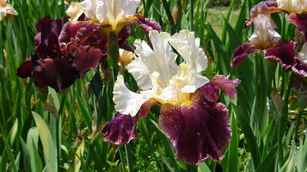 Iris-de-mai-031.JPG