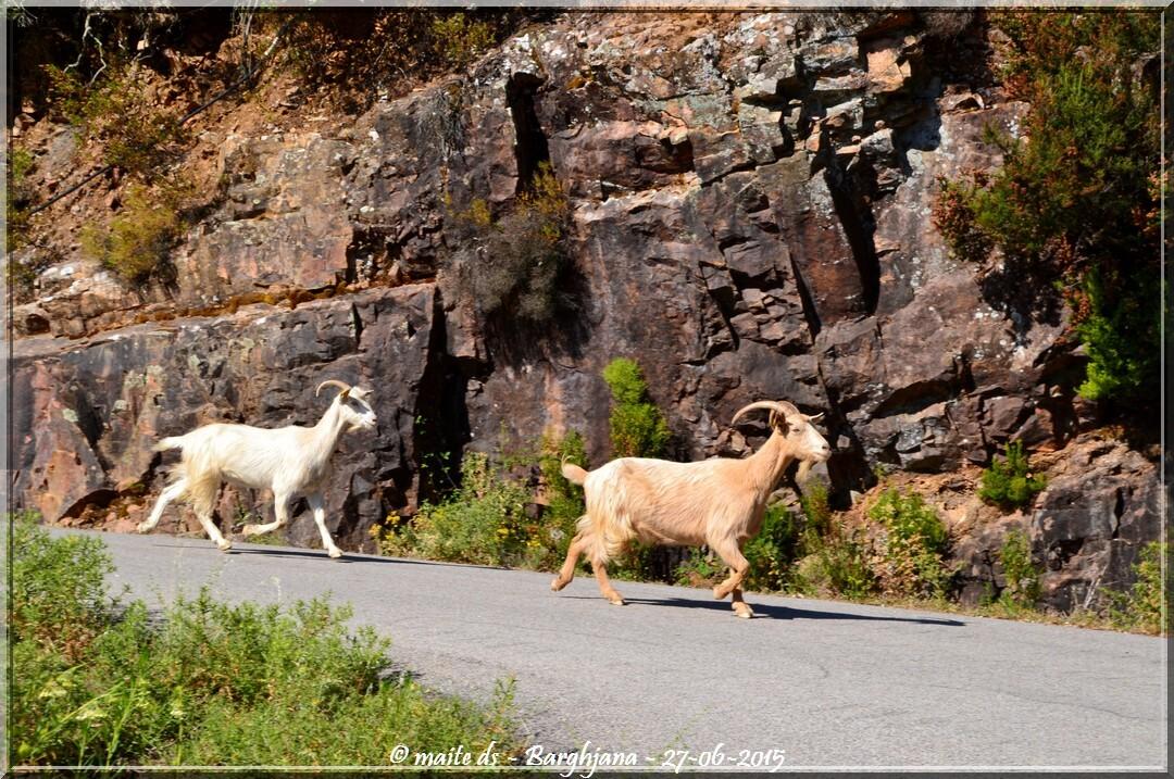 chèvres de retour à la bergerie