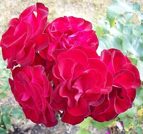 roses-velours.jpg