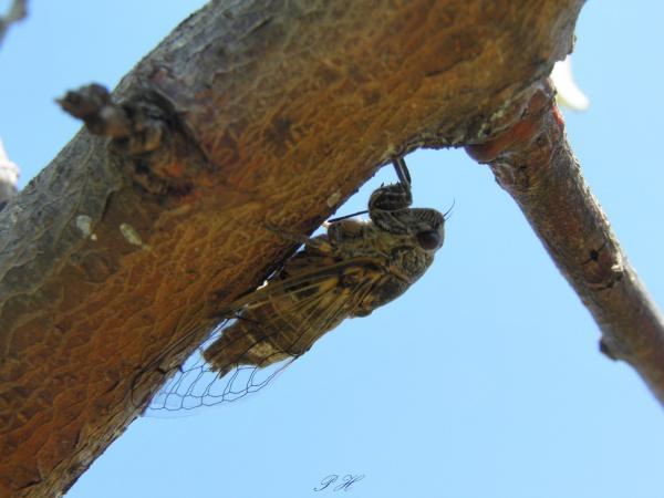 Cicadette sur le pêcher