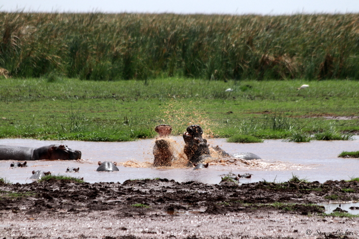 Hippopotames du Parc de Manyara