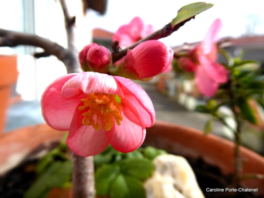 *Le mimoza*