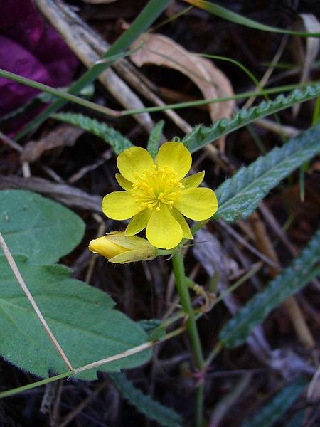 450px-Brightflower2