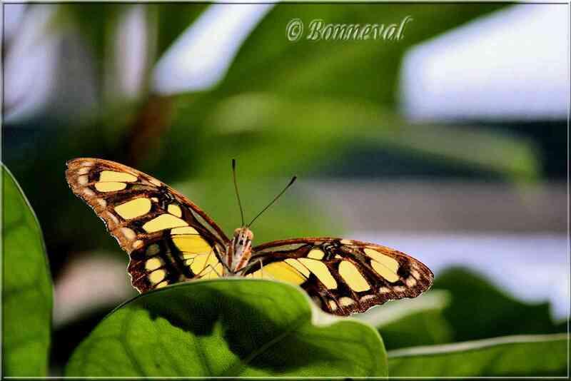Papillons tropicaux Siproeta stelenes Nymphalidae