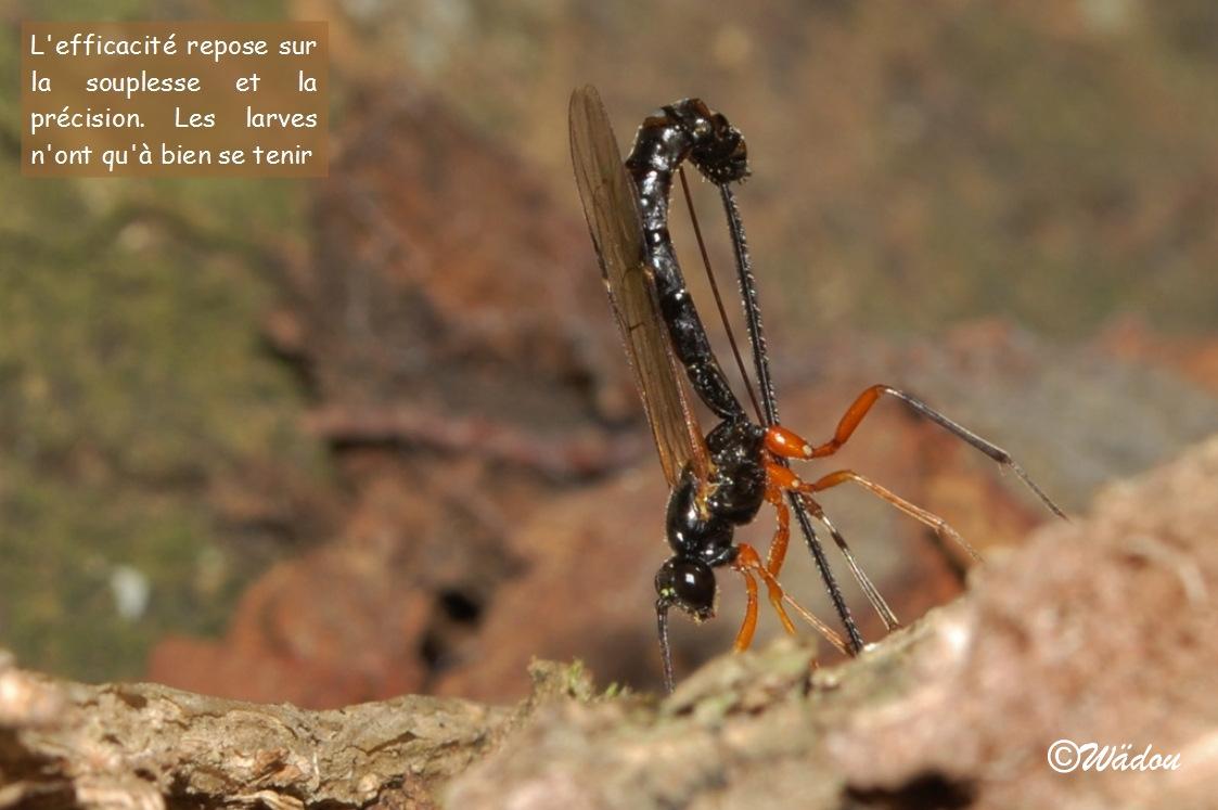 Blog de wadou : Trésors de notre Nature, Dolichomitus imperator Ichneuminidae - Pimplinae