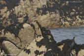 Cormoran huppe