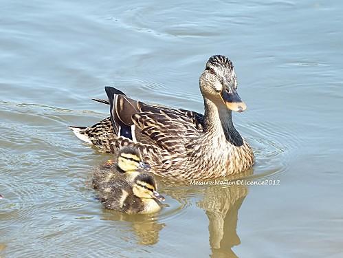 Maman canard