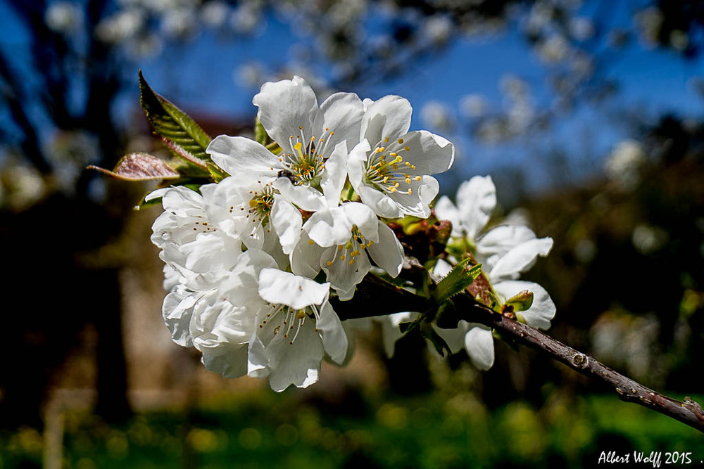 Cerisier .