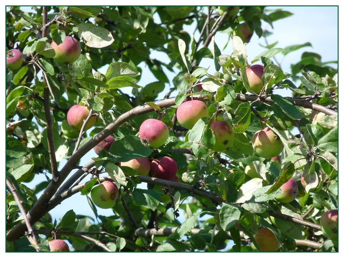De belles pommes pour 'Instant T .