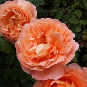 roseraie-david-austin-morienval---emma-hamilton--800x800-.jpg