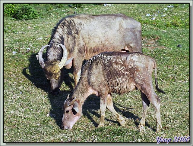 Blog de images-du-pays-des-ours : Images du Pays des Ours (et d'ailleurs ...), Bufflonne d'eau et son veau - Lac Phewa - Pokhara - Népal