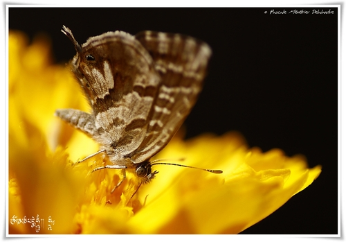 Brun du pélargonium (Cacyreus marshalli) - Lycaenidae