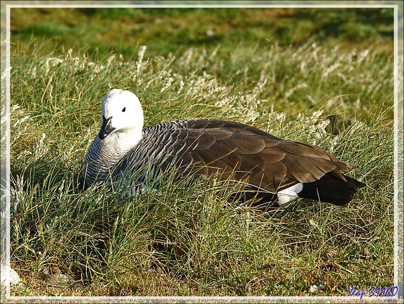 Ouette ou Oie ou Bernache de Magellan, Upland goose, Cauquén (Chloephaga picta) - Île Magdalena - Patagonie - Chili