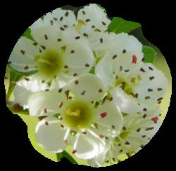 Tubes fleur et branche d'Azérolier