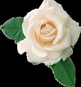 Rose Blanche et Deux Feuilles PNG transparents - StickPNG