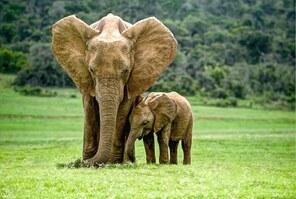 Papier peint Elephant d'Afrique