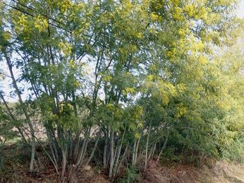 Premières fleurs de mimosas