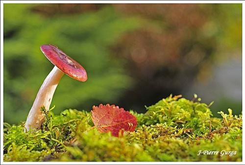 Encore de très beaux champignons, photographiés par Jean-Pierre Gurga...