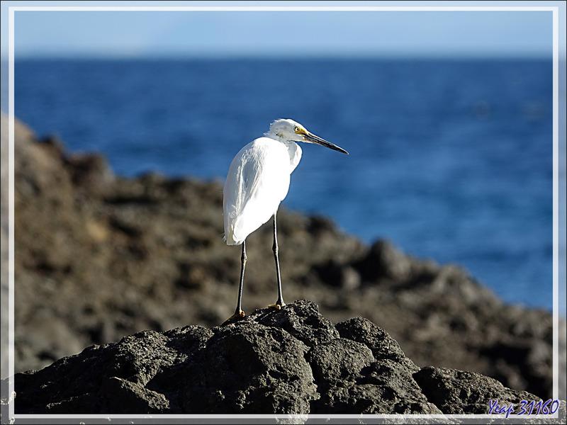 Aigrette dimorphe, Dimorphic Egret (Egretta dimorpha) - Presqu'île de Nosy Tsarabanjina - Archipel des Mitsio - Madagascar