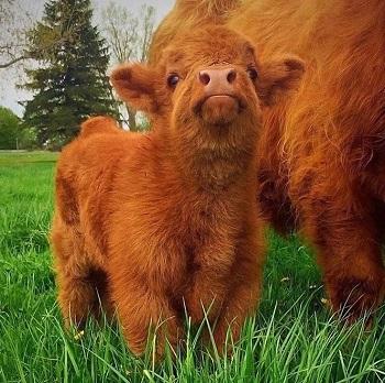 Rha : la vache !