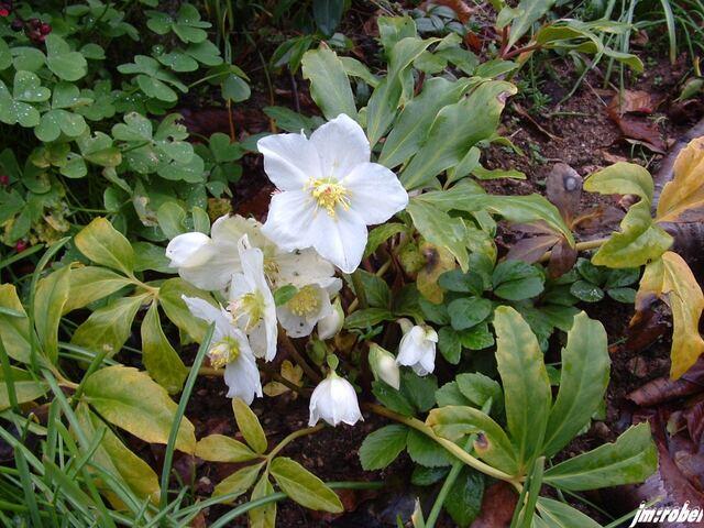 l'Hellébore orientale blanc, une vivace à floraison hivernale