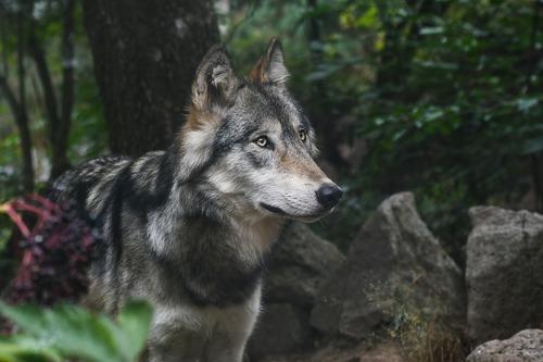 Loup gris - Image web