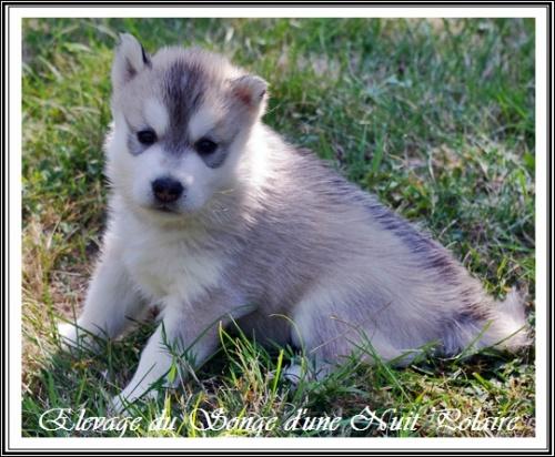 Chiot Husky Femelle 2 (25j)