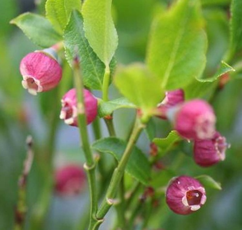 Fleurs cultivées : Myrtille