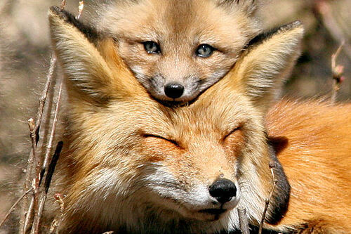 TENDRESSE ANIMALE : Renards