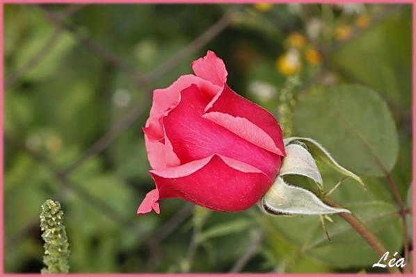 _MG_2443-Rose-Mamie.jpg