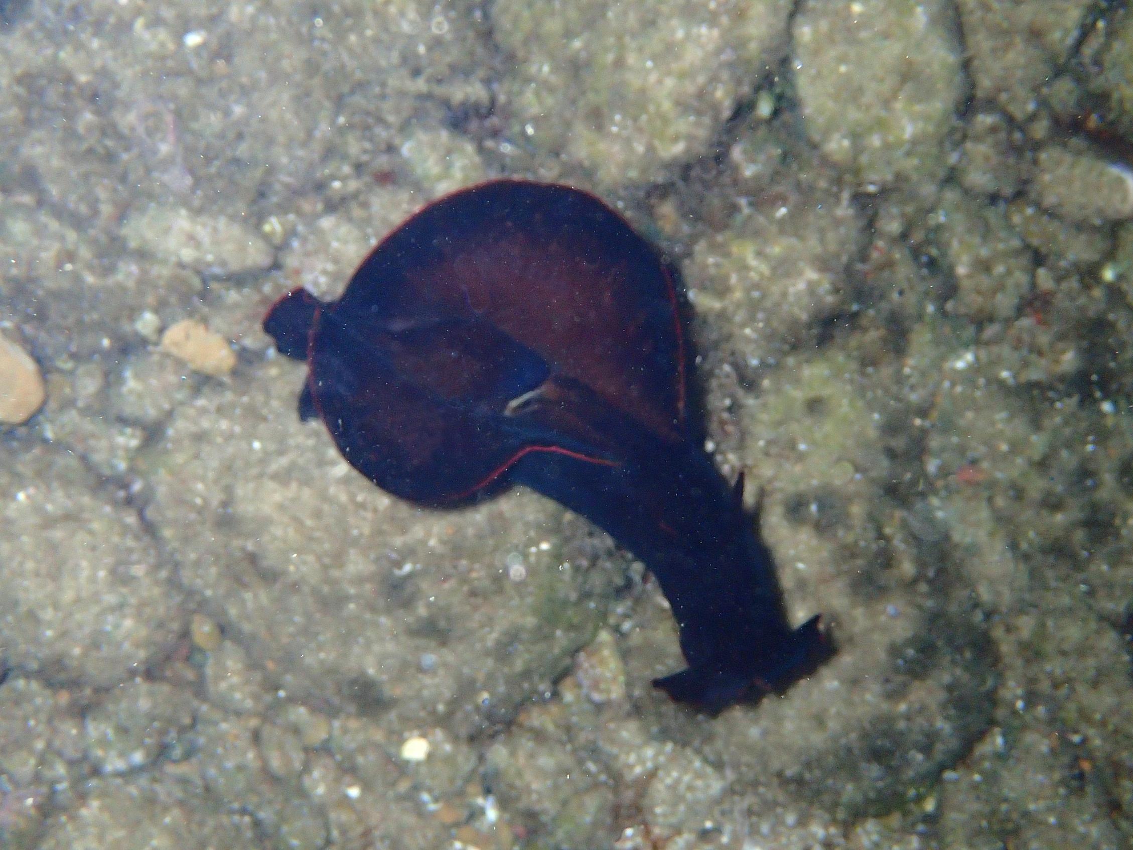 lièvre de mer