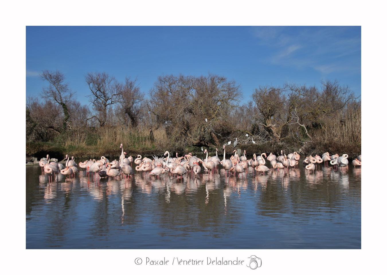 Balade au Parc Ornithologique du Pont de Gau (suite & fin) - Camargue - Bouches du Rhône