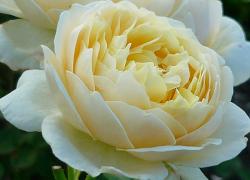 Tubes de Roses