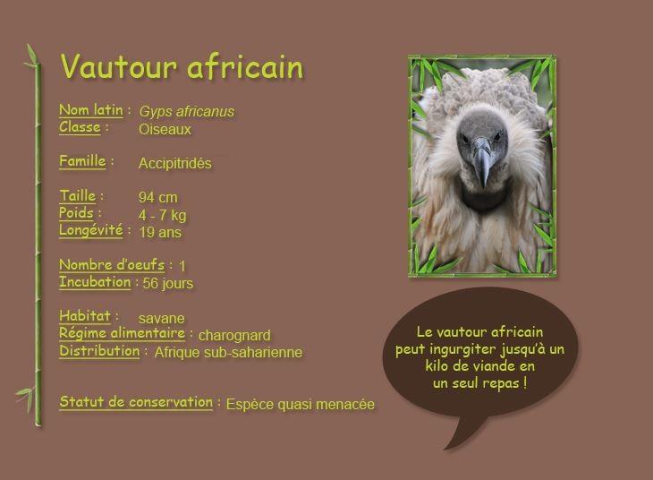 Vautour africain