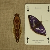 SAL papillon.JPG