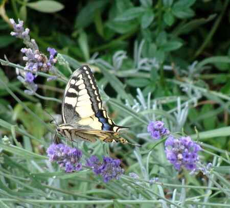 le_Machaon__4_