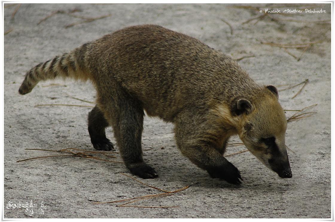 Coati roux - Nasua nasu