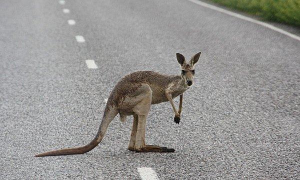 animaux-kangourou-route-41.jpg
