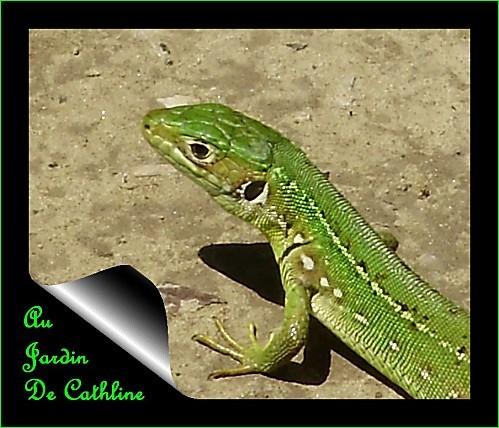 lezard-vert.jpg