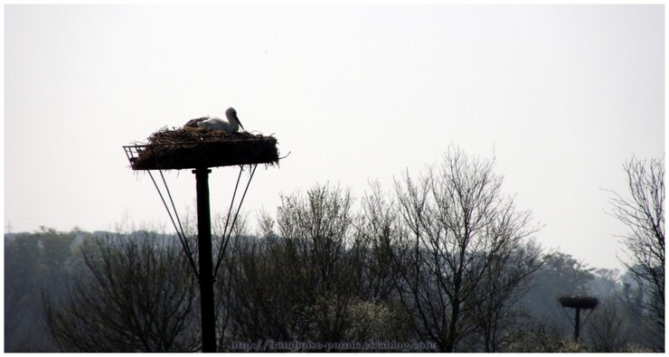 Cigognes du Marais Breton