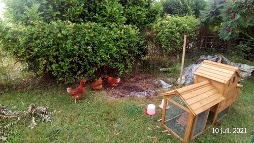 Arrivée des poules